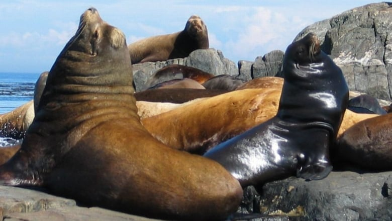 Loud Smelly And Spellbinding Hundreds Of Huge Sea Lions Converge On Powell River Cbc News