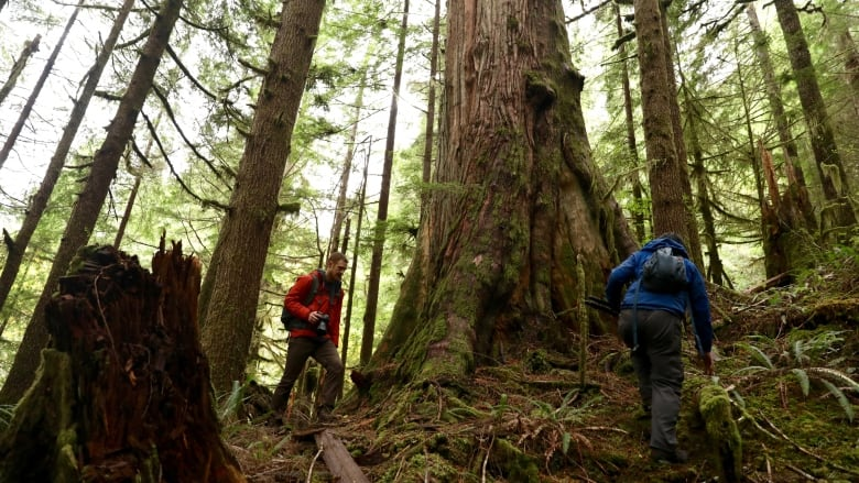 One place to start is google earth. B C Vastly Overestimates Size Of Its Old Growth Forest Independent Researchers Say Cbc News