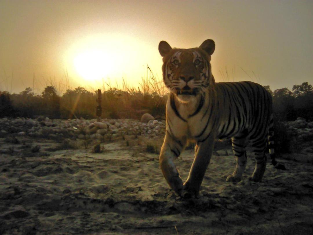 Tigre Nepal Wwf Banke NP2