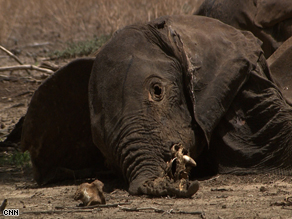 Philip's photo of one of the elephants killed for their ivory tusks.