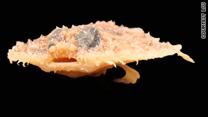 For deep-water denizens like pancake batfish, threat is from underwater oil plumes.