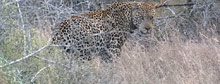 Saving South Africa's leopards