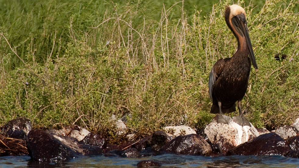 A brown pelican stained by oil stands on oil-soaked rocks at the pelican rookery next to Queen Bess Island in Barataria Bay, near Grand Isle, Louisiana, on Sunday. - CNN