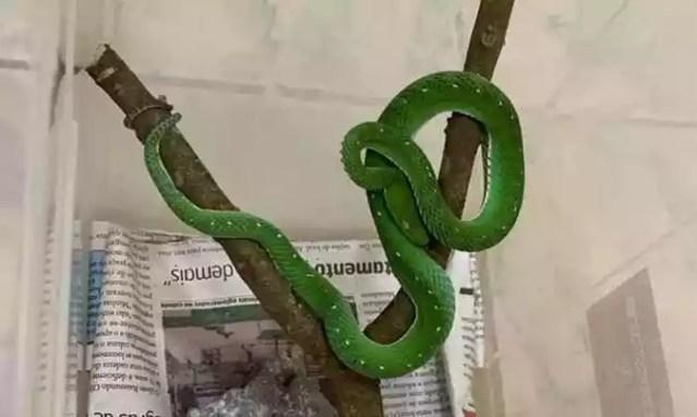 VÍbora-verde-de-voguel é originária da Ásia e não tem antiofídico no Brasil (foto: Zoológico de Brasília/Divulgação )