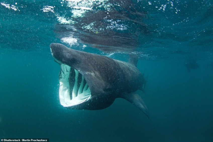 Jaw-dropping: Tourists have a chance of seeing a basking shark (above) in the deep Welsh waters of the Celtic Shelf. This one was spotted off the coast of Scotland