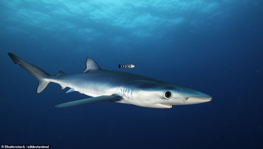Fierce: 'This year I've been told by anglers that the size of the sharks they find are increasing,' wrote Lizzie. Pictured above is a blue shark, which can be seen off the coast of Wales. This one was spotted near South Africa