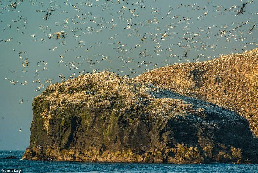 Impressive: Grassholm Island (above) boasts the third largest colony of northern gannets in the world