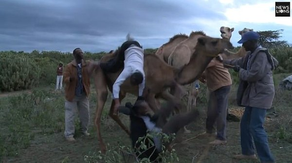 Camel throws Kenyan journalist to the ground in African ...