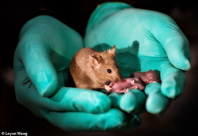 Baby mice have been born to two mothers in a breakthrough study that could spell hope for gay couples who want their own children. Pictured is a mouse born from two mothers (left), who grew into a healthy adult and had pups of her own (right)