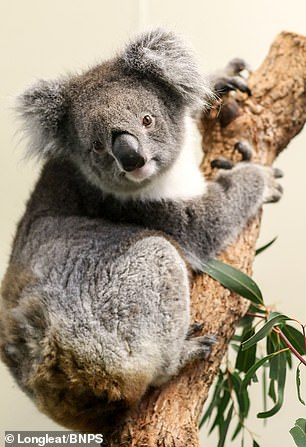 Longleat will act as a European hub for the newly-created International Koala Centre of Excellence