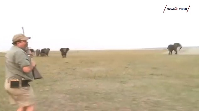 Bullseye: The men fire several shots at one of the bulls, and it is seen staggering and falling