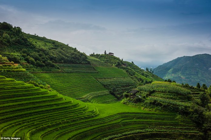 The lush green fields of Longsheng Rice Terrace in Guangxi province. This highland area has been cultivated for over 800 years with a terrace and irrigation system for rice