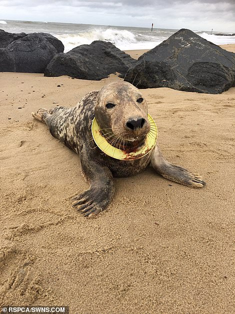 """Earlier this year, the RSPCA brought back a seal called the """"Frisbee"""" after successfully recovering from life-threatening neck injuries that plunged deep into her throat"""