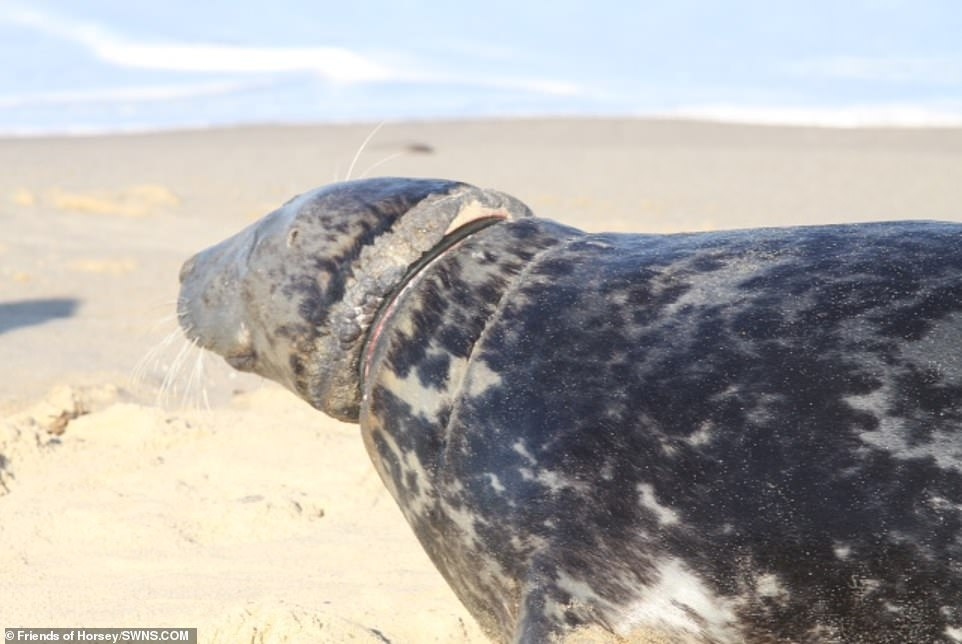 The RSPCA has previously saved and treated two to four seals a year, and none before 2008. However, last year 10 seals were rescued with plastic and metal rings around their necks, as well as plastic ropes and nylons