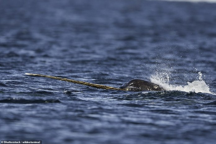 """A male narwhal feeding on bait fish. This whale was called the """"Unicorn of the Seas""""."""