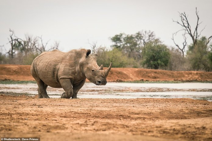 You can watch white rhinos in the shallows in the heart of Swaziland between South Africa and Mozambique