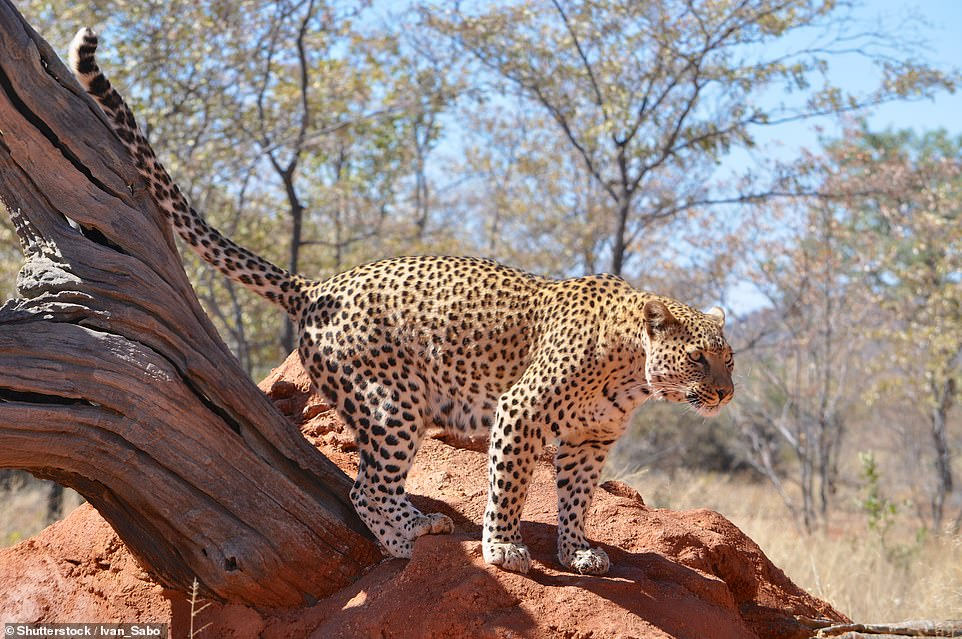 I've been discovered: Leopards are the heaviest of the Big Five since they're nocturnal. Therefore, you need a knowledgeable guide