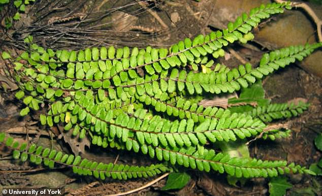 Written descriptions show that the fern leaf was used to stimulate non-life-threatening diseases such as dandruff, alopecia, skin diseases and even menstrual flow (image).