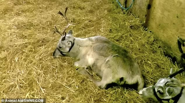 Animal Aid called the conditions animals were kept in 'desolate' and 'unnatural.' Pictured is an animal at the Kent centre with a broken antler