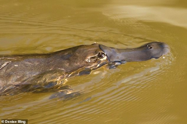 A platypus living in a stream that receives treated wastewaters could receive half of the recommended human dose of antidepressants daily - simply by consuming its normal diet with brook insects (pictured).