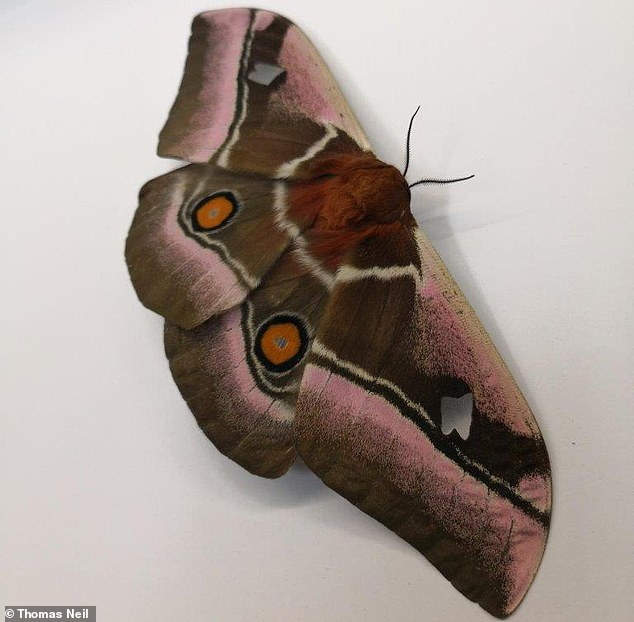 Moths (pictured) have evolved thick 'stealth coats' to stop hungry bats from hearing them fly, one scientist has claimed