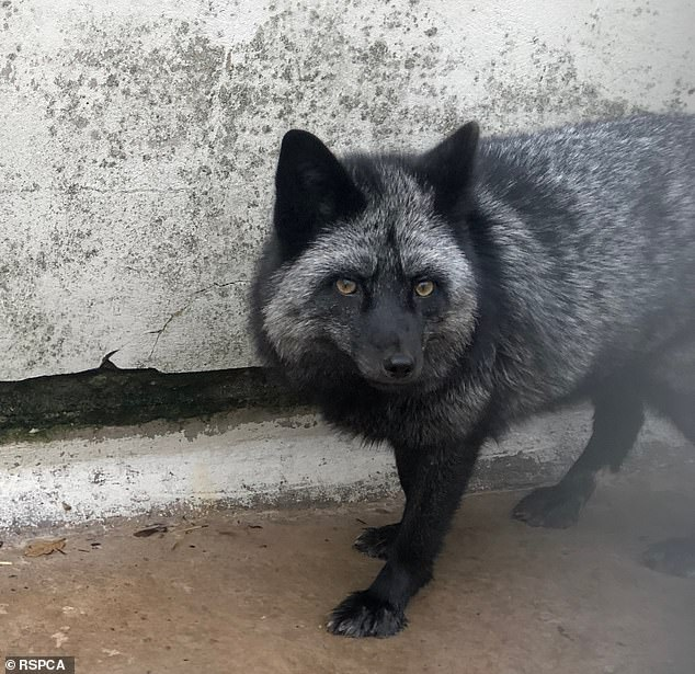 Foxes are wild animals with very specific needs that do not differ from wild foxes, and they require expert treatment. Even the most experienced fox experts had difficulty keeping pets successful