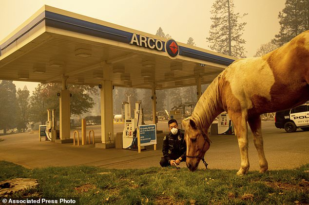 Officer Randy Law tends to a rescued horse as a wildfire burns in Paradise, Calif., On Friday, Nov. 9, 2018. (AP Photo / Noah Berger)