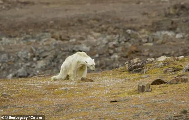 Polar bears have become one of the lasting symbols of the environmental cause (pictured on Somerset Island in Canada). But a new report says that bears are growing in numbers that they can not safely live with people in northern Canada at the moment