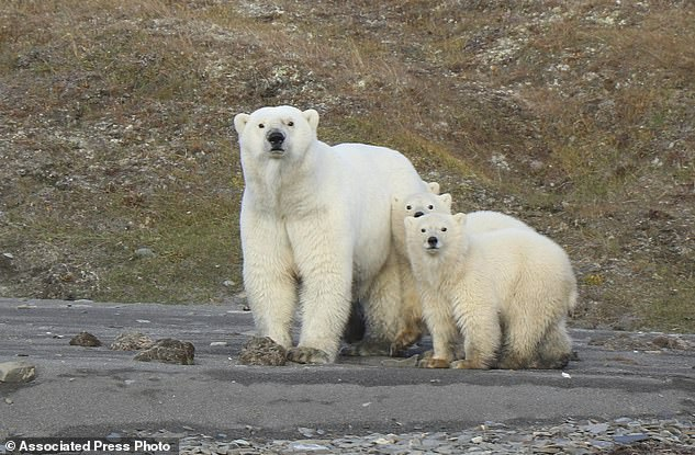 The first formal count of polar bears in the waters between the United States and Russia shows that they fare better than some of their cousins elsewhere (file photo).