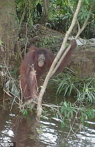 Pony climbing trees and fording rivers in her new life at the orangutan sanctuary she was taken to after her rescue