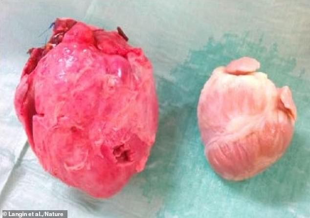 Front view of the pig donor heart (left) and the heart of baboon three from the study (right).German researchers stunned the medical and scientific world by giving a baboon a pig's heart and keeping the animal alive for 195 days