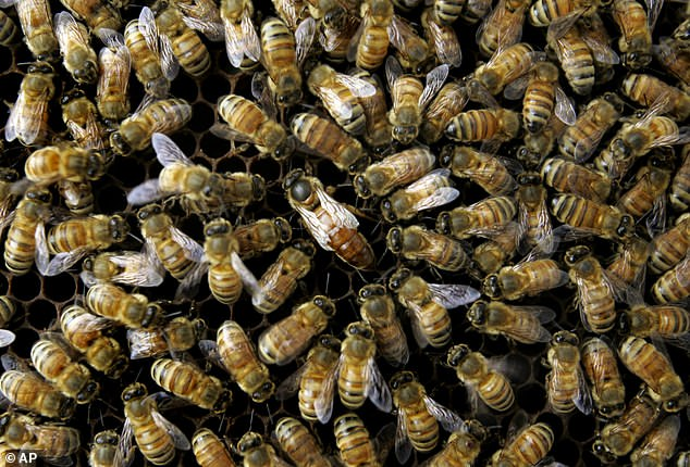Called PrimeBEE, it is designed to protect bees from American foulbrood, a bacterial disease that has been wiping out entire colonies. Pictured, a colony of honeybees  at the United States Department of Agriculture's Bee Research Laboratory