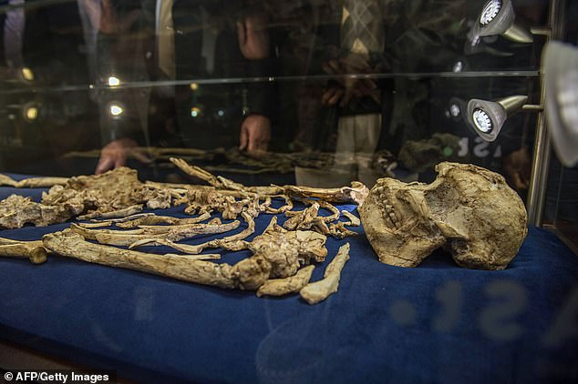 The skeleton dates back 3.6 million years. Four scientific papers, which are yet to be peer-reviewed or published, claim the skeleton of an elderly female with a crippled left arm proves she does not belong to any known species of human ancestor