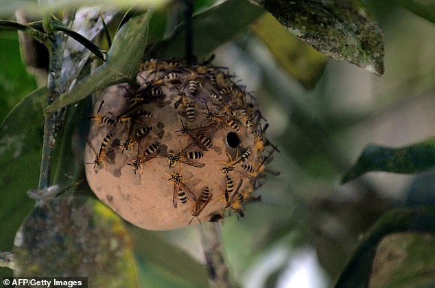 Researchers at MIT studying the antimicrobial properties of a toxin normally found in a South American wasp, created variants that are potent against bacteria but nontoxic to human cells. Polybia paulista is an aggressive social wasp endemic in south-east Brazil.