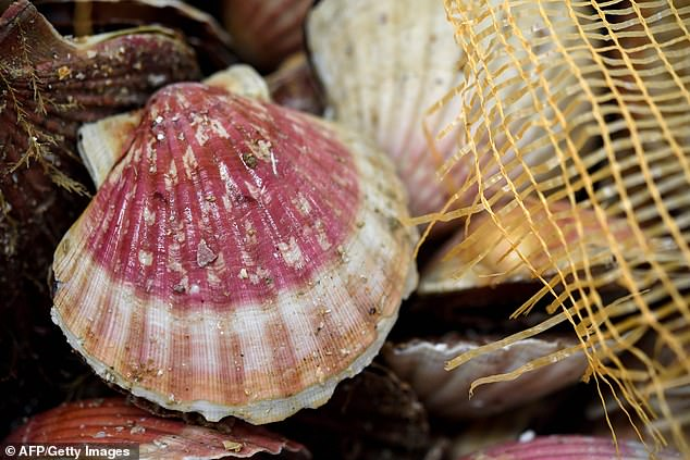 British scallops (pictured) are said to be at risk from the Chinese mussels which can destroy them