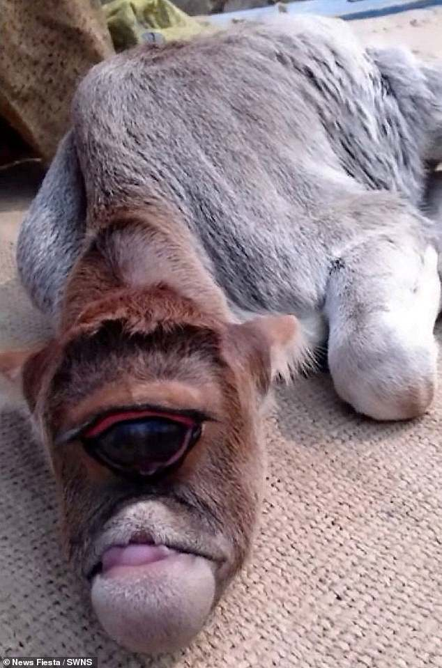 Worshipped: The one-eyed alien calf appeared in a video reportedly filmed in the Bardhaman district of West Bengal in India, where locals believe it is a god
