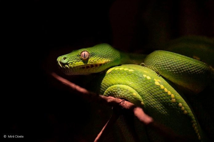 The junior photographer Miré Cloete entered this photo of a green snake that was searching through the darkness uneasily