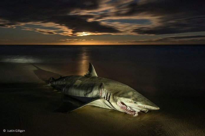 A toothless whaling shark has spilled into the gentle swell of Duesbury Beach on the southern coast of New South Wales