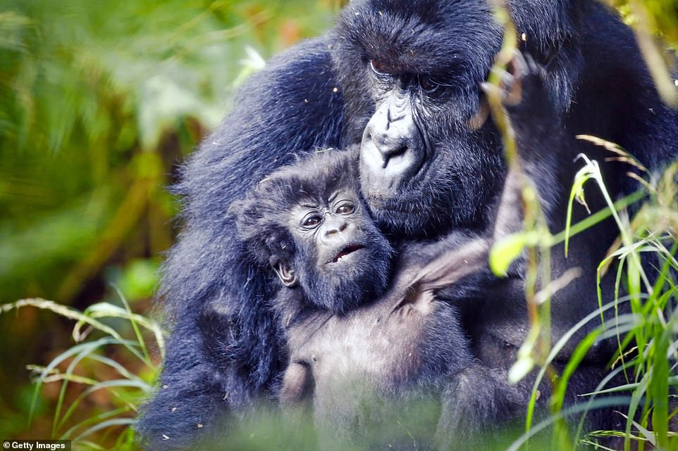 "Two gorillas embrace in the Mgahinga Gorilla National Park. The park, in Uganda, is the third ""must-photograph"" place on the list"