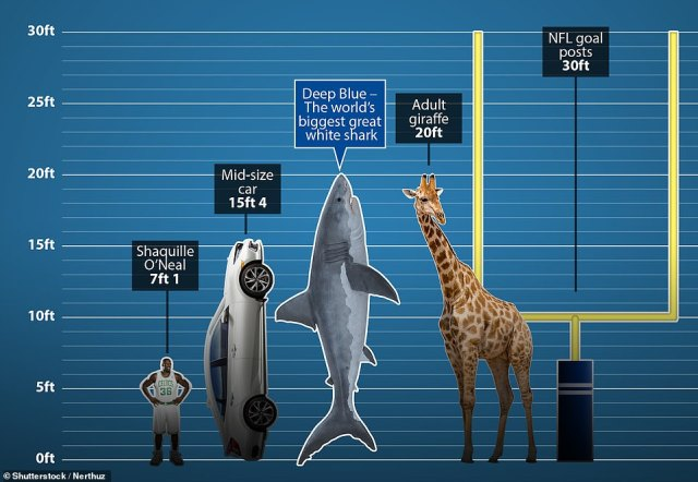 Deep Blue is thought to be around 20ft long according to scientists who have previously encountered the predator, around the same height as a fully-grown giraffe