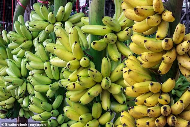 """Bananen in ganz Afrika sollen sich nun mit dem """"Streak-Virus"""" infiziert haben, das ganze Plantagen zerstören kann. CRISPR-Cas9 ist eine präzise Technik, die es Wissenschaftlern ermöglicht, DNA-Abschnitte zu verändern und zu entfernen, wodurch die Krankheit vollständig ausgerottet werden kann (Bestand)."""