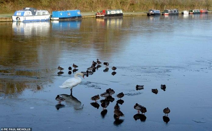Schwäne und Enten, die auf dem Eis standen, nachdem das Wasser am Sonntagmorgen auf dem Gloucester zum Sharpness Canal eingefroren war