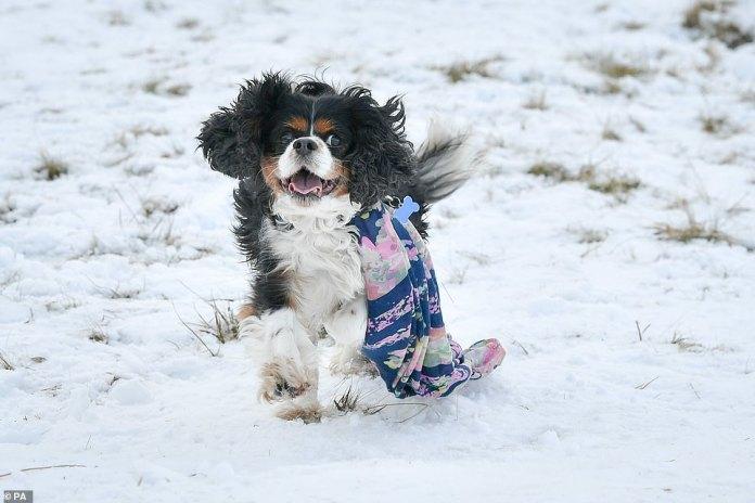 Rory, der King Charles Spaniel, trägt einen Schal, als er am Sonntag auf den Hügeln des Brecon Beacons National Park im Schnee hängt