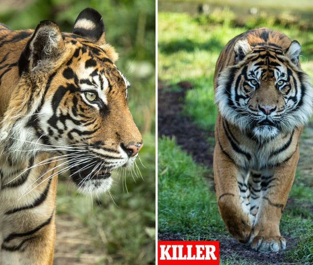 Horror As London Zoo Tiger Melati Brutally Killed By A Potential