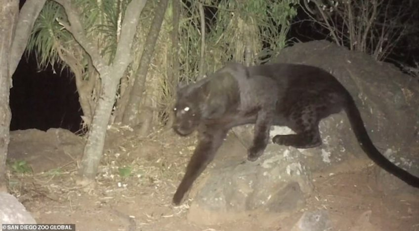 DrPilfold said: 'We had always heard about black leopard living in this region, but the stories were absent of high quality footage that could confirm their existence.' This grab from San Diego Zoo's video shows the black leopard clambering over rocks. The video footage was shot over a period of a year