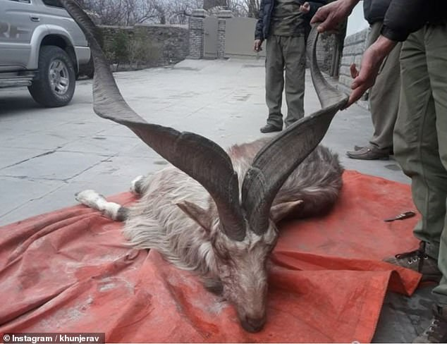 https://i1.wp.com/i.dailymail.co.uk/1s/2019/02/13/03/9749552-6698307-Since_the_trophy_hunting_program_was_instated_the_markhor_popula-a-1_1550028946482.jpg?w=736&ssl=1