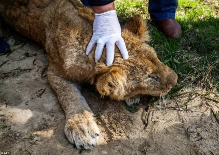 https://i1.wp.com/i.dailymail.co.uk/1s/2019/02/14/11/9766596-6699983-Lionness_Falestine_about_to_be_declawed_at_Rafah_zoo_in_southern-a-2_1550142114269.jpg?w=736&ssl=1