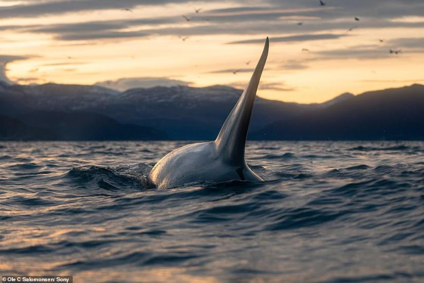 The outdoorsman says one of the biggest things when it comes to wildlife is to 'be ready' and to try and predict movement. For instance, when you see the nose of a whale, Ole says you 'just start shooting'. He suggests using the auto-focus mode on a camera, so you can get the sharpest image possible