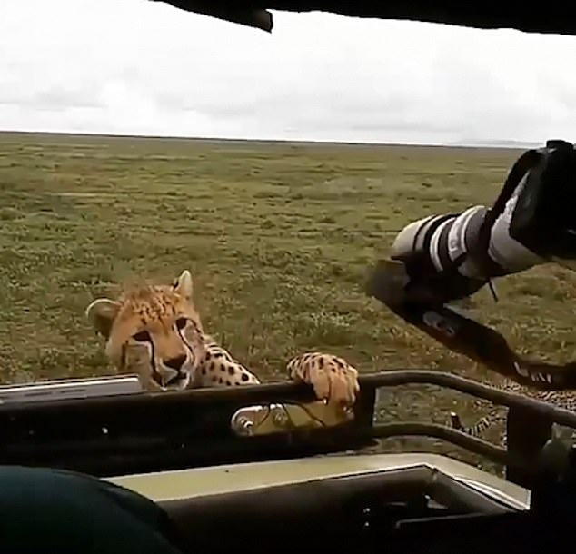 The incident continued for several seconds before a guide eventually turned the engine on and the big cats slowly backed off
