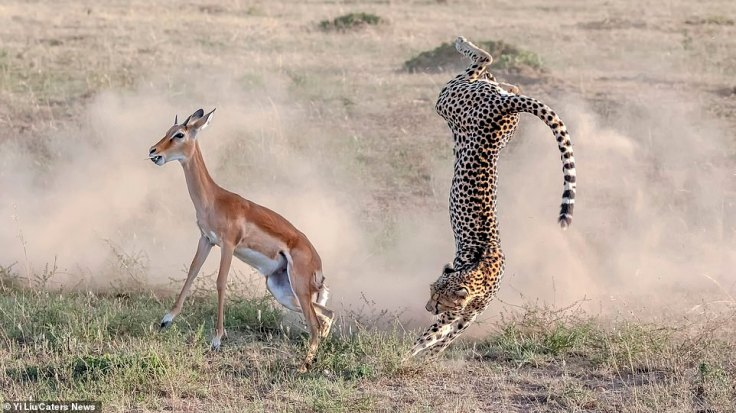 https://i1.wp.com/i.dailymail.co.uk/1s/2019/03/06/15/10640240-6776901-Keeping_her_on_her_toes_The_cheetah_loses_its_grip_on_the_impala-a-18_1551887207313.jpg?w=736&ssl=1